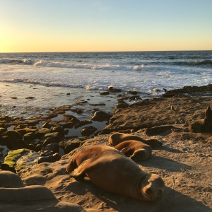 Sea Lions at La Jolla, San Diego